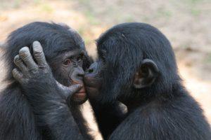 BonoboKiss1 copy
